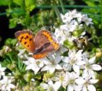 Schmetterling - kleiner Fuchs, Bild: NABU Remseck/Poppenweiler